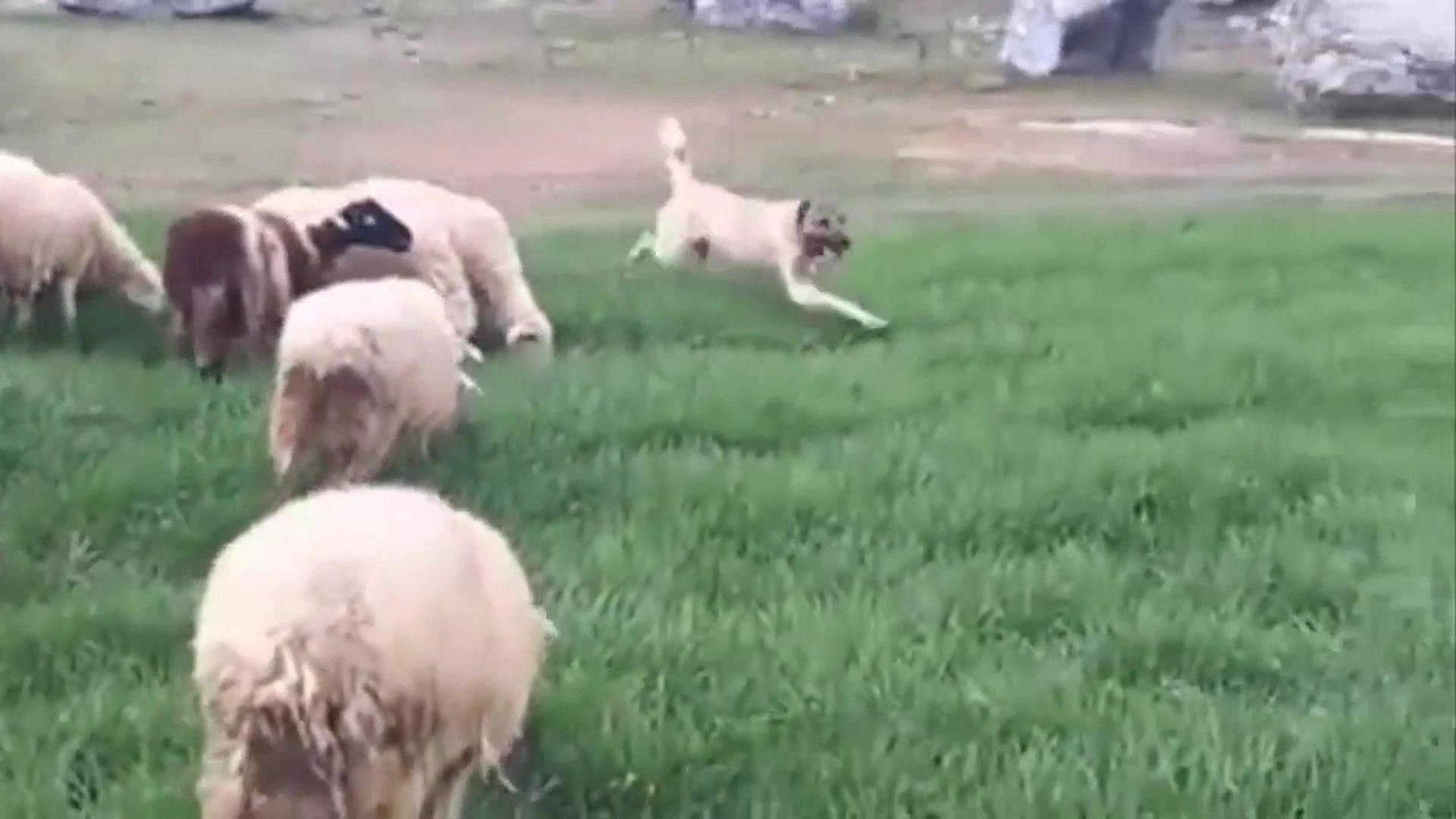 KANGAL KOPEKLERi ve KOYUN SURULERi - KANGAL SHEPHERD DOGS and SHEEPS