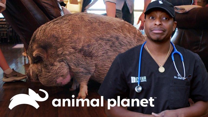 Porquinho se recupera de doença de pele | Veterinários do Texas | Animal Planet Brasil