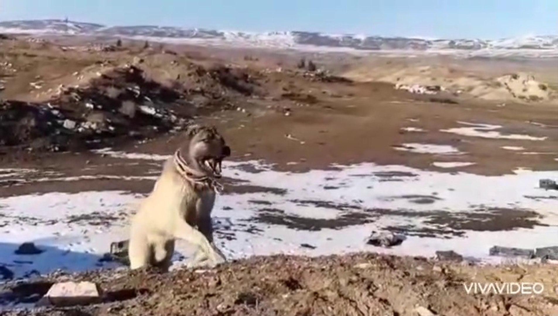 KANGAL KOPEGiNiN ZiRVEYE CIKISI - KANGAL SHEPHERD DOG