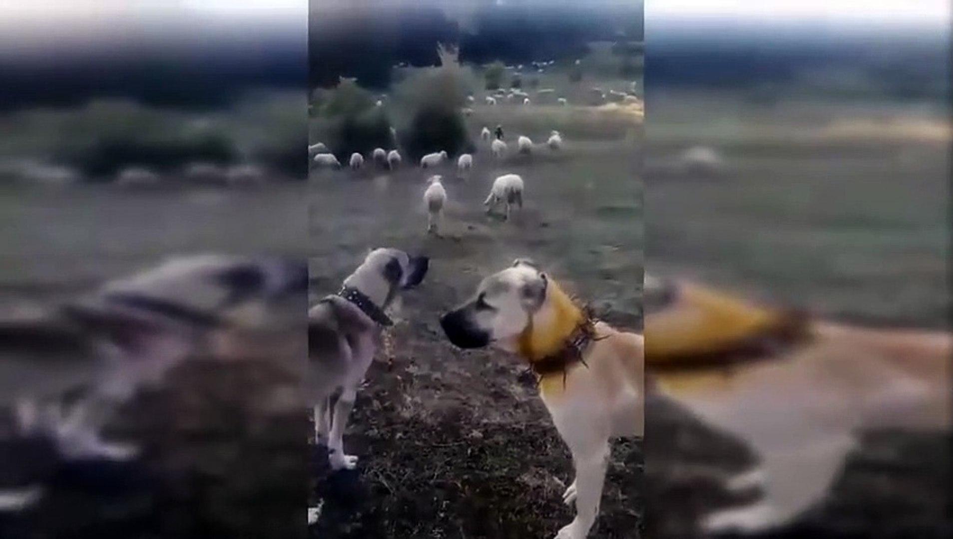 KURDA KARSI COBANIN SADIK DOSTLARI - ANATOLiAN SHEPHERD DOGS