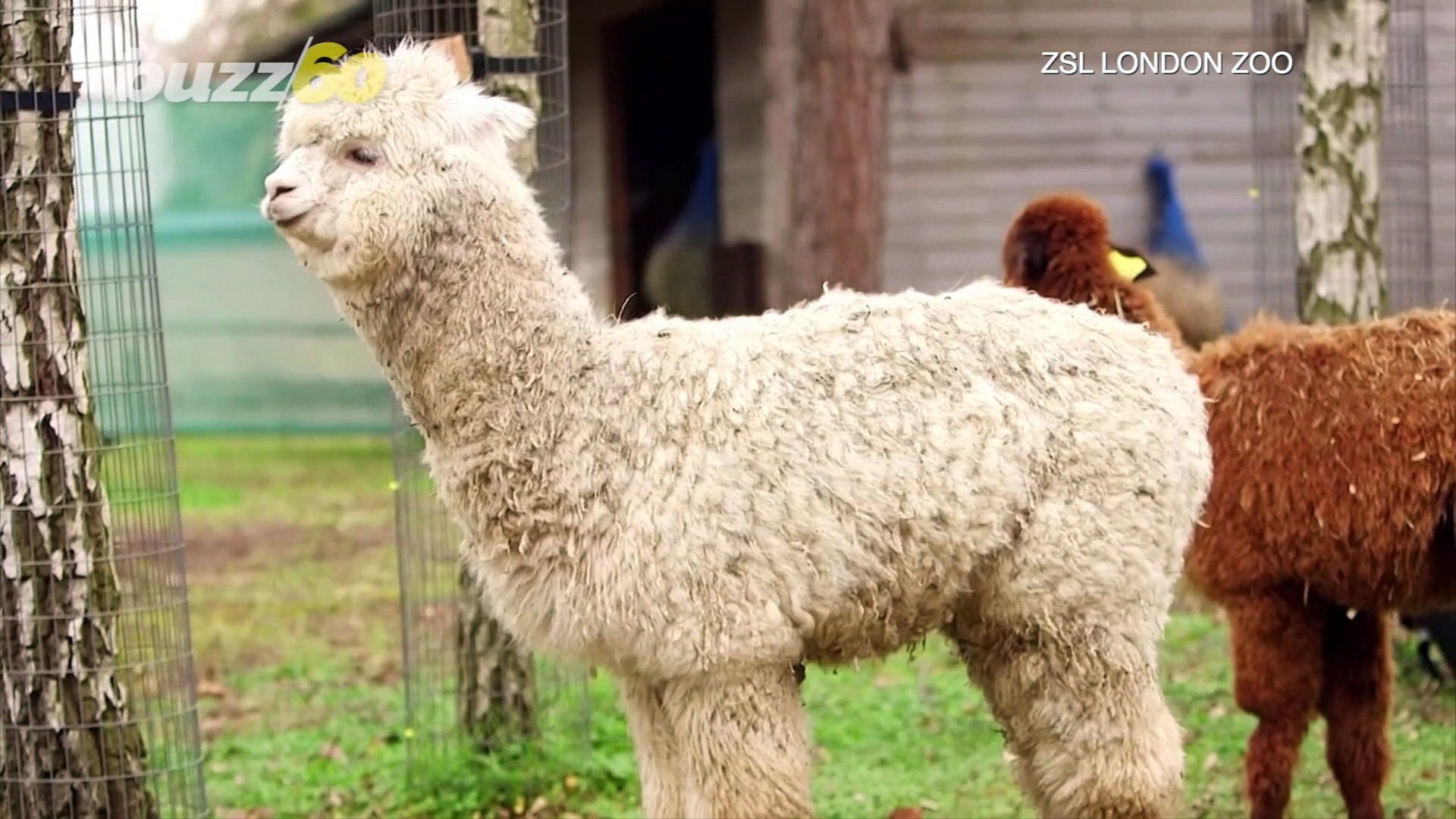 The Name Game! London Zoo Wants You To Help Name Their 3 New Alpacas!