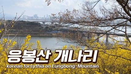 랜선여행 응봉산 개나리 (Korea Online Tour, forsythia on Eungbong-Mountain) / 디따