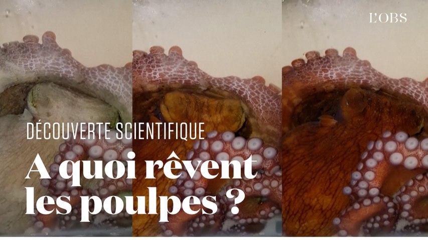 Ces images révèlent la manière dont rêvent les poulpes