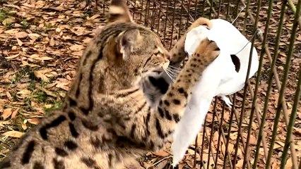 Cat VS Toilet Paper