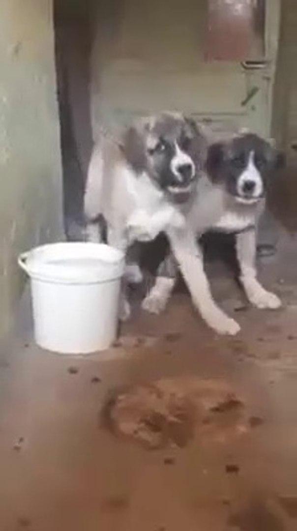 ALA COBAN KOPEGi YAVRULARI - ALA SHEPHERD DOG PUPPiES
