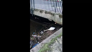 Leith swan struggles to keep nest clear of rubbish