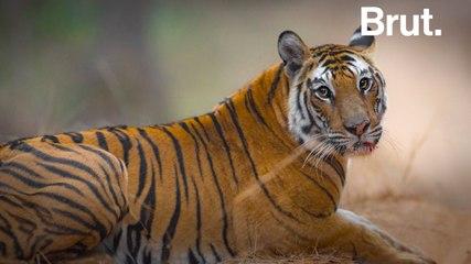 Solo the tiger and fallen queen of Bandhavgarh