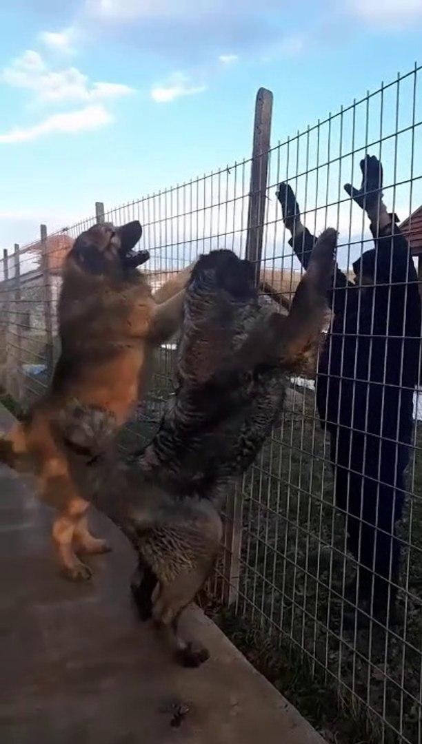 ADAMCI ve DEV KAFKAS COBAN KOPEKLERi - GiANT CAUCASiAN SHEPHERD DOGS