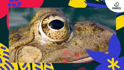 Brèves de nature sauvage à Paris : la grenouille verte
