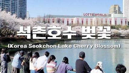 랜선여행 벚꽃 구경 통제 전 찾은 석촌호수 (Korea Online Tour, Seokchon Lake Cherry Blossom) / 디따