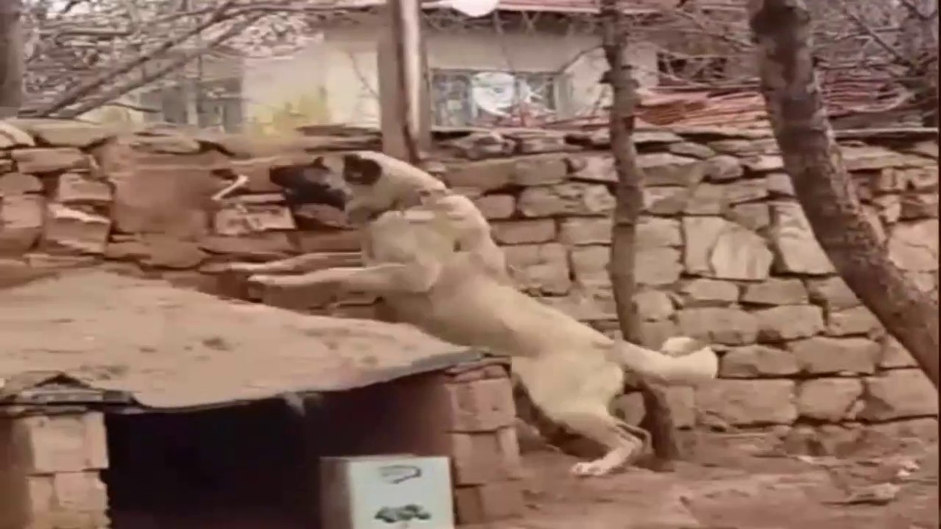 KANGAL HABER VERiYOR YABANCI BiR CiSiM YAKLASIYOR - KANGAL SHEPHERD DOG