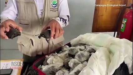 Nearly 200 Galapagos Baby Turtles Saved From Traffickers