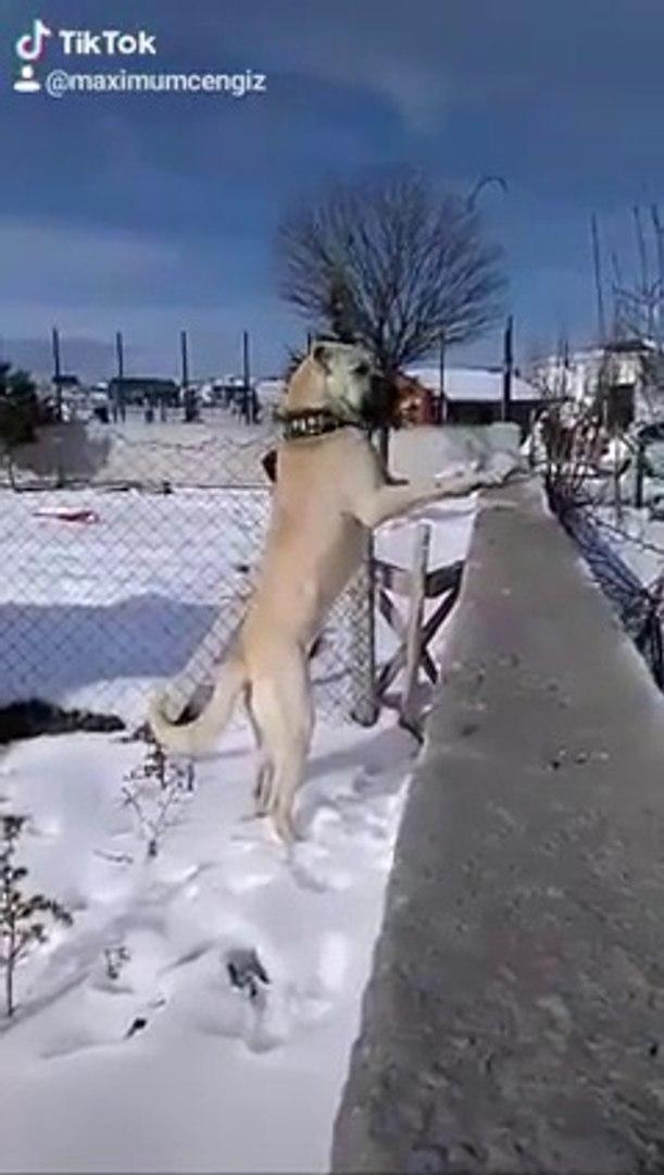 DEVLE BAHCE EMNiYETi - GiANT ANATOLiAN SHEPHERD DOG