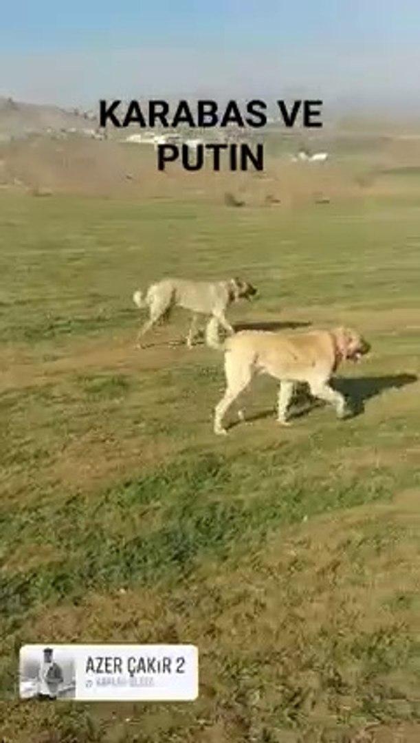 DEVLER LiGiNDE KURT DEVRiYESi - GiANT SHEPHERD DOGS