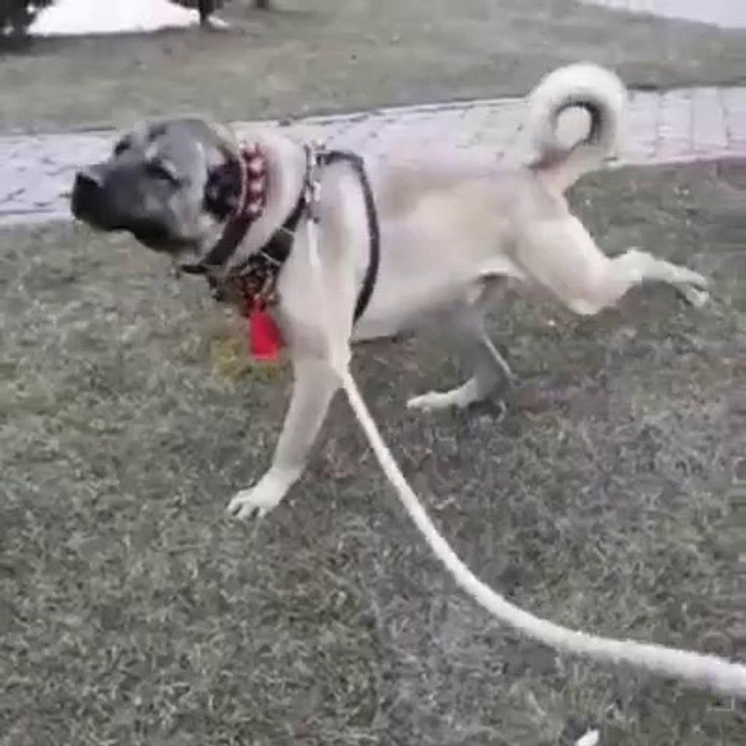 DEVDEN KORKUTAN HAREKETLER - GiANT ANATOLiAN SHEPHERD DOG