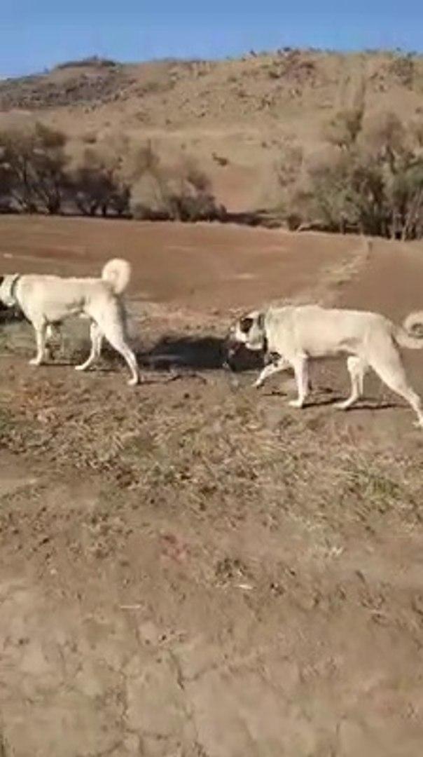 KANGAL KOPEKLERi ve YURUYUS - KANGAL SHEPHERD DOGS and WALK