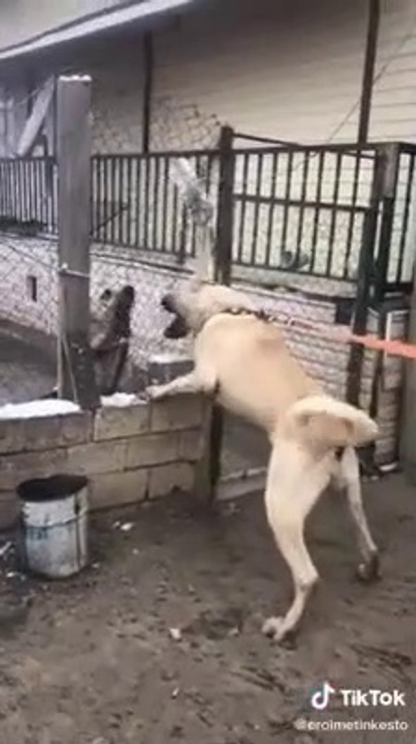 DEVLERDEN KISA ATISMA - GiANT ANATOLiAN SHEPHERD DOGS VS