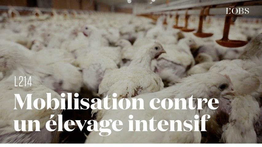 La grogne contre l'agrandissement d'un élevage intensif de poulets