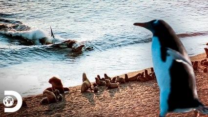 Caça realizada por espécies marinhas   Lei da sobrevivência   Discovery Brasil