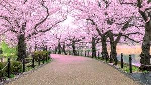 Japón registra la floración de cerezos más temprana en 1.200 años