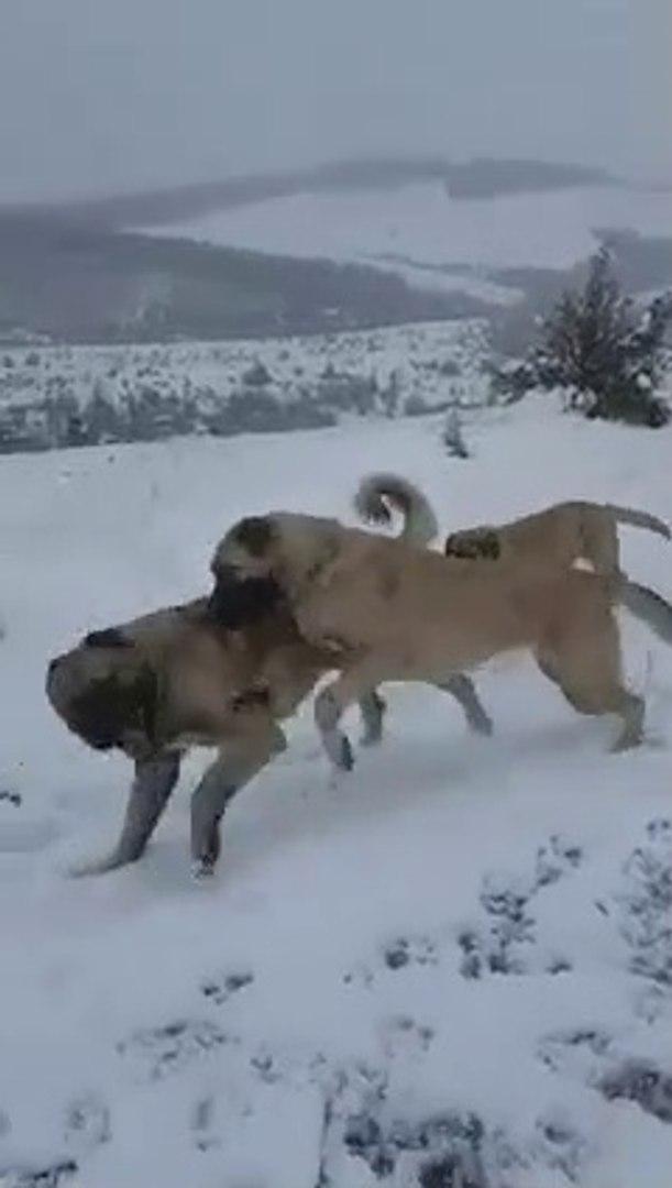 KAR YAGDIGINDA OKULLAR TATiL OLUNCA BEN - ANATOLiAN SHEPHERD DOGS at SNOW VS