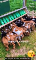 Goat Daddy Farm