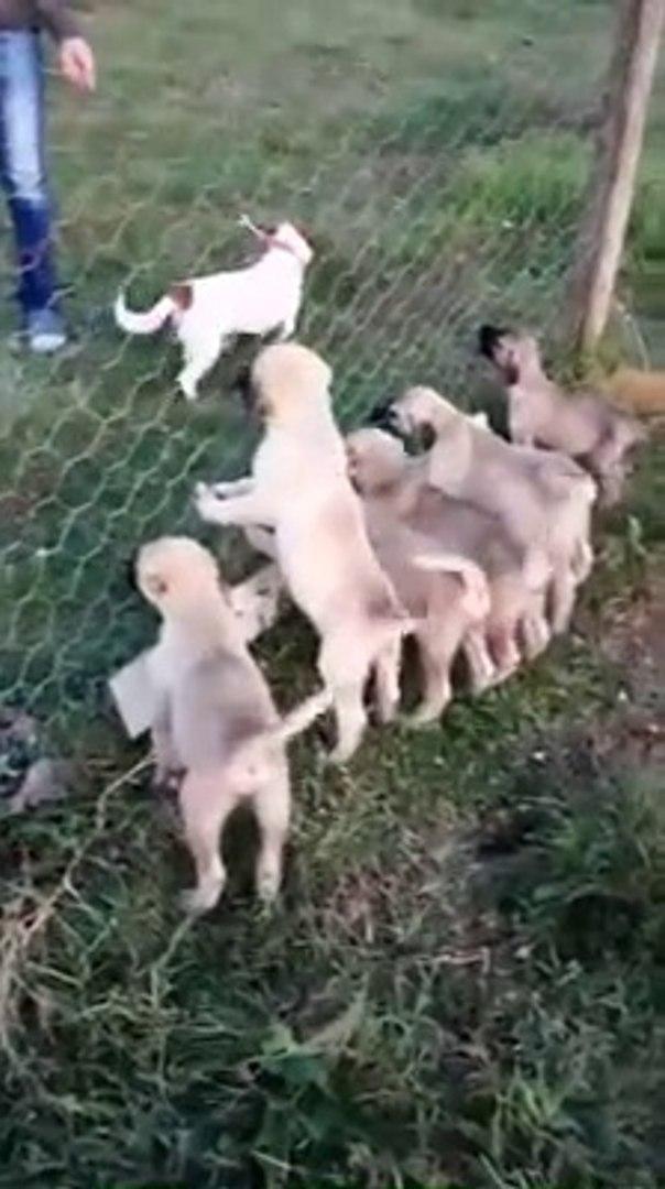 GELECEGiN ADAMCI YAVRULARI - VERY ANGRY SHEPHERD DOG PUPPiES