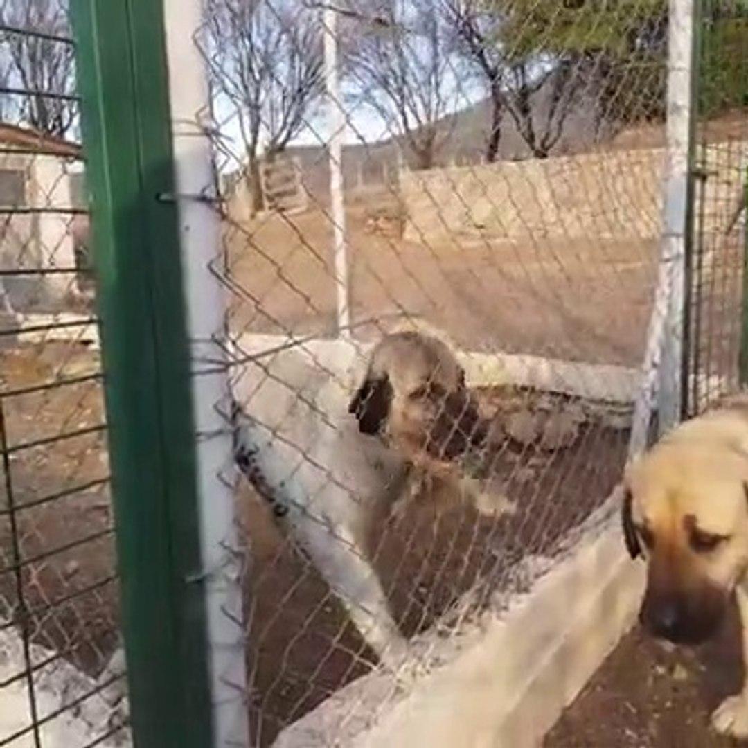 KANGAL KOPEGi COBAN KOPEGiNE SOZUMU DiNLEYECEKSiN DiYOR - KANGAL and SHEPHERD DOGS VS