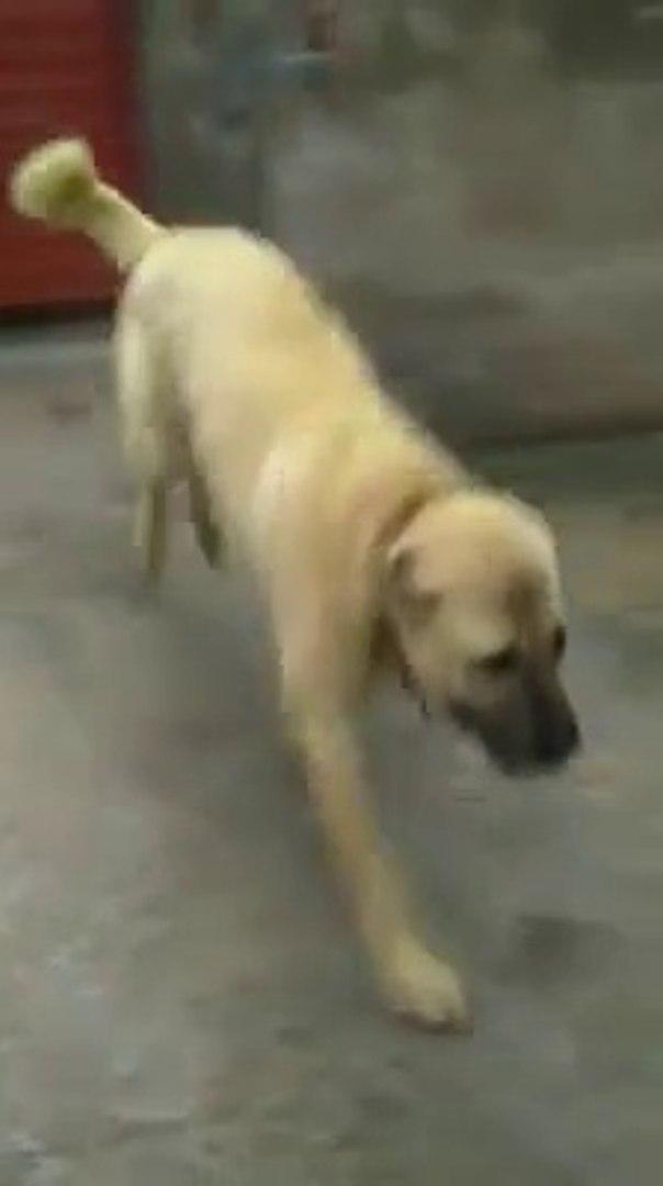COBAN KOPEGi BAHCEDE BiR SAGA BiR SOLA - SHEPHERD DOG RUNiNG in the GARDEN