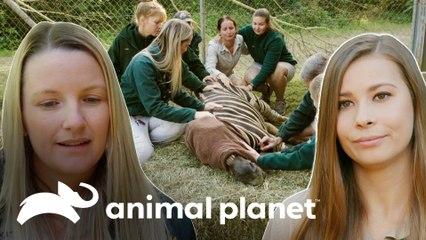 Triste adeus a uma zebra | A Família Irwin: Robert ao resgate | Animal Planet Brasil