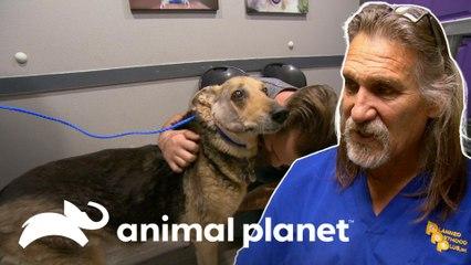 Cão de assistência com câncer comove doutor Jeff | Veterinário das Montanhas | Animal Planet Brasil