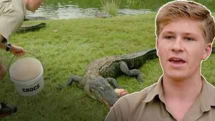 Robert alimenta mais de 40 crocodilos! | A Família Irwin: Robert ao resgate | Animal Planet Brasil