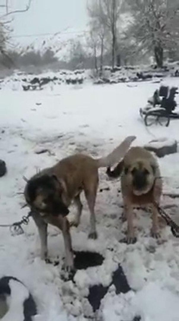 KARIN SON ZAMANLARINDA KANGAL KOPEKLERi - KANGAL SHEPHERD DOGS