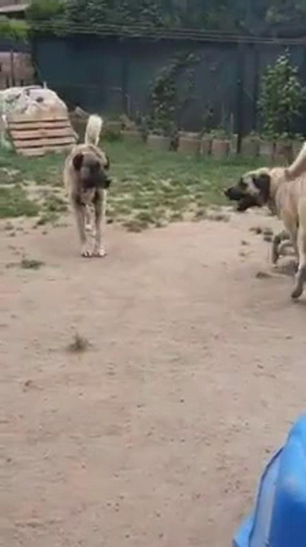 UC SiLAHSOR KANGAL KOPEKLERi - KANGAL SHEPHERD DOGS