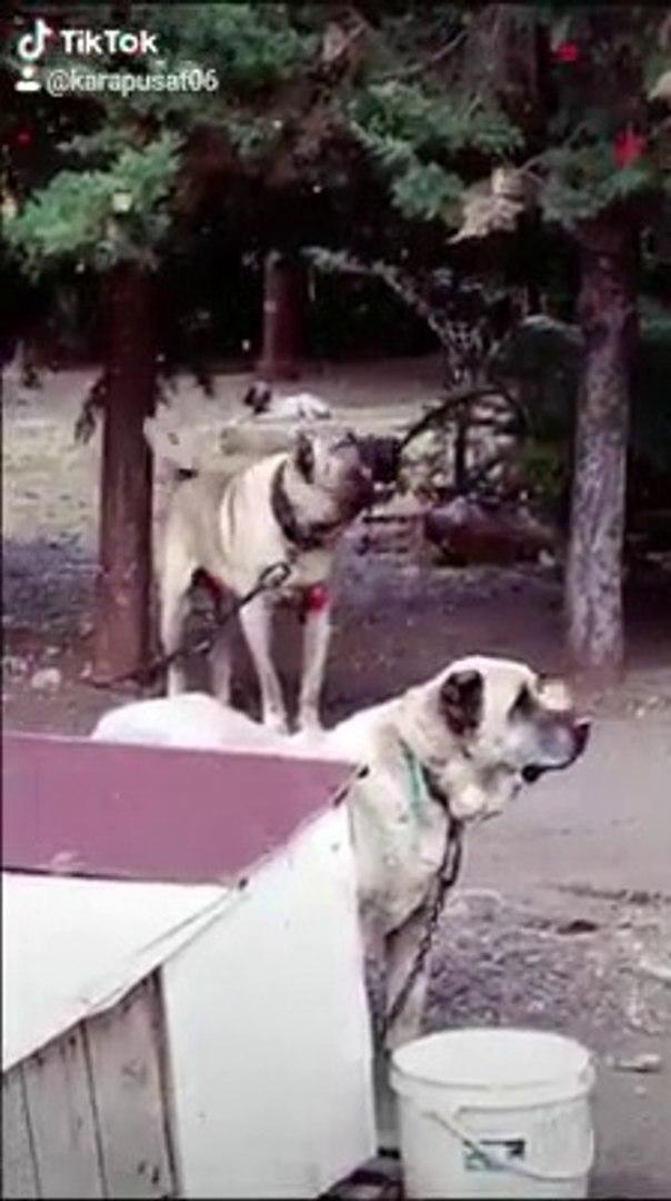 KANGAL KOPEKLERiNDEN VERDi VERDi ESLiGiNDE -  KANGAL SHEPHERD DOGS
