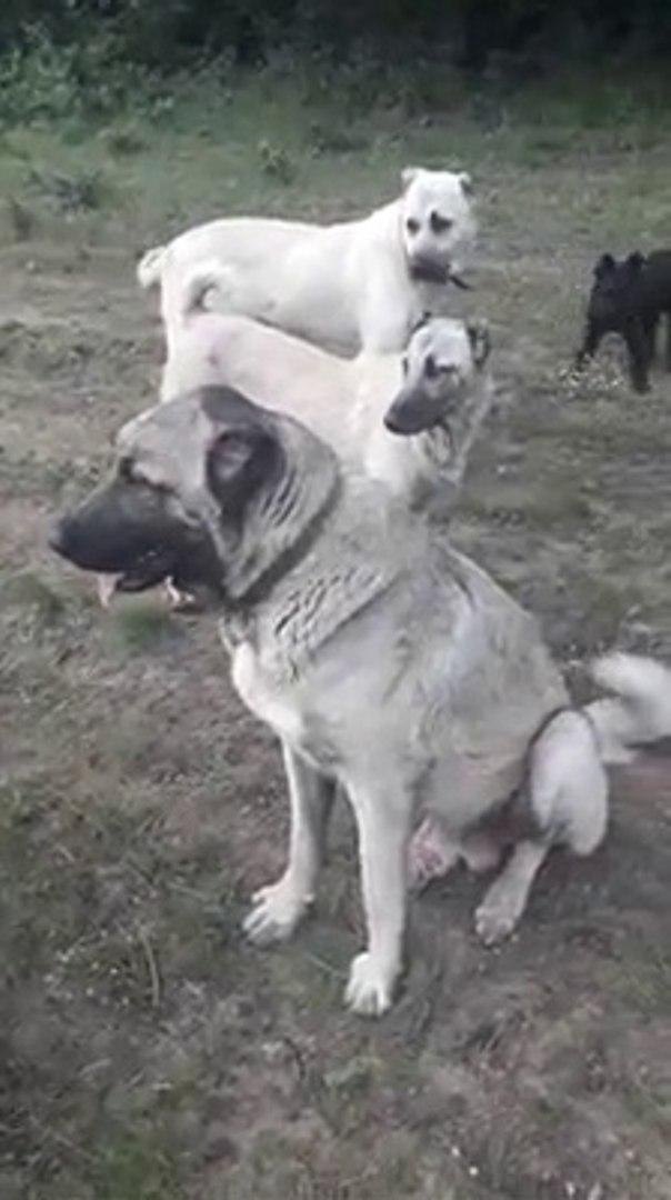 KANGAL ve COBAN KOPEKLERiYLE GEZiNTi - KANGAL and SHEPHERD DOGS WALK