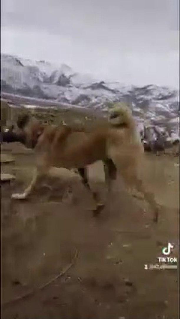 KANGAL KOPEKLERi GOREV BASINDA GOREV - KANGAL SHEPHERD DOGS