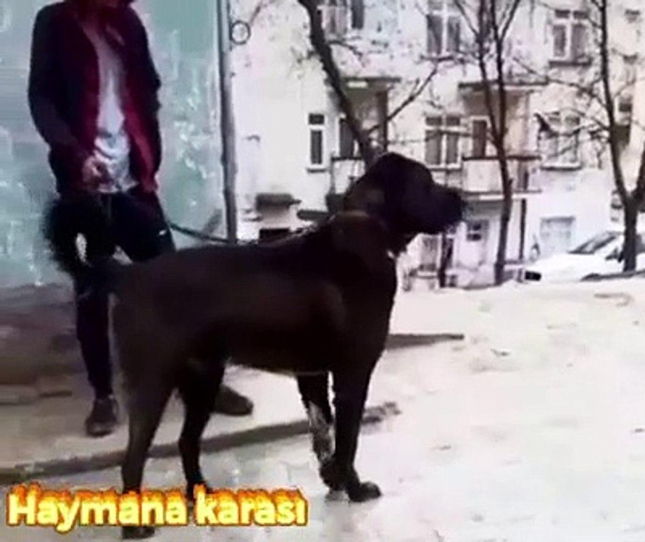 ANADOLUNUN KARA EJDERHASI - BLACK ANATOLiAN SHEPHERD DOG