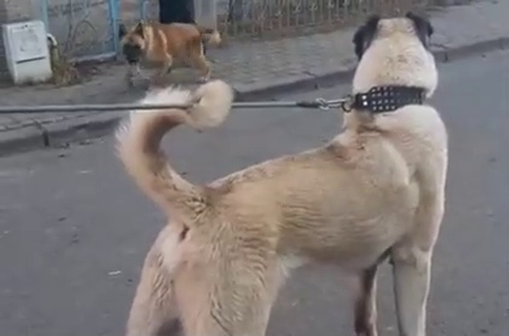 KANGAL ve COBAN KOPEGi ORTAYA KARISIK - KANGAL and SHEPHERD DOGS