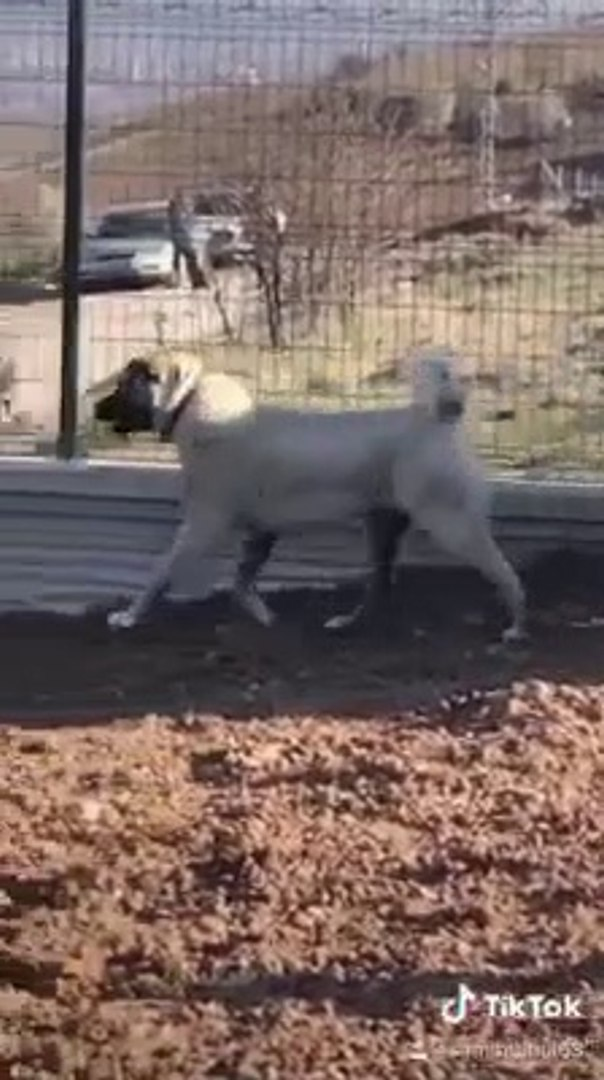 CAKIRBEYLi BABAYIM ESLiGiNDE GENC KANGAL KOPEGi - YOUNG KANGAL SHEPHERD DOG