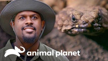 Dois répteis temidos e letais | Pequenos Gigantes da Natureza | Animal Planet Brasil