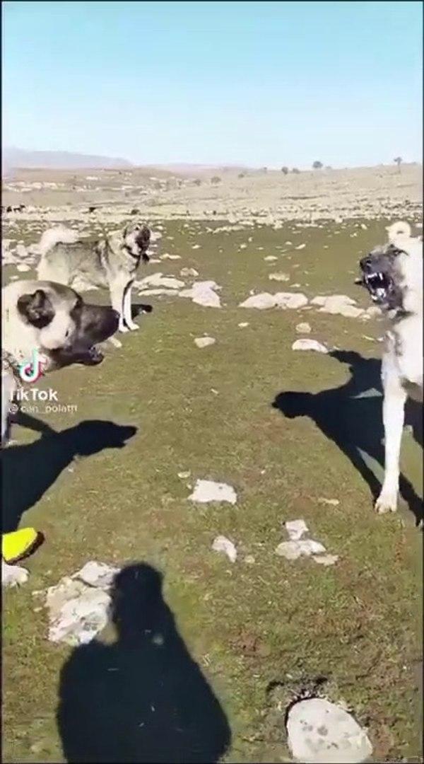 KANGAL KOPEKLERi KARSILASTI KISA ATISMA YAPTI - KANGAL SHEPHERD DOGS VS