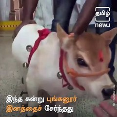 Social Media Become Crazy About This Cute Baby Punganur Cow