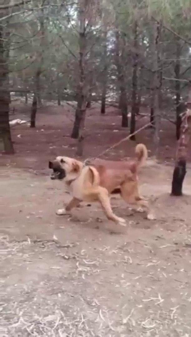 MUBAREK DEV COBAN KOPEGi AGACI DiBiNDEN SOKECEK - GiANT ANGRY SHEPHERD DOG
