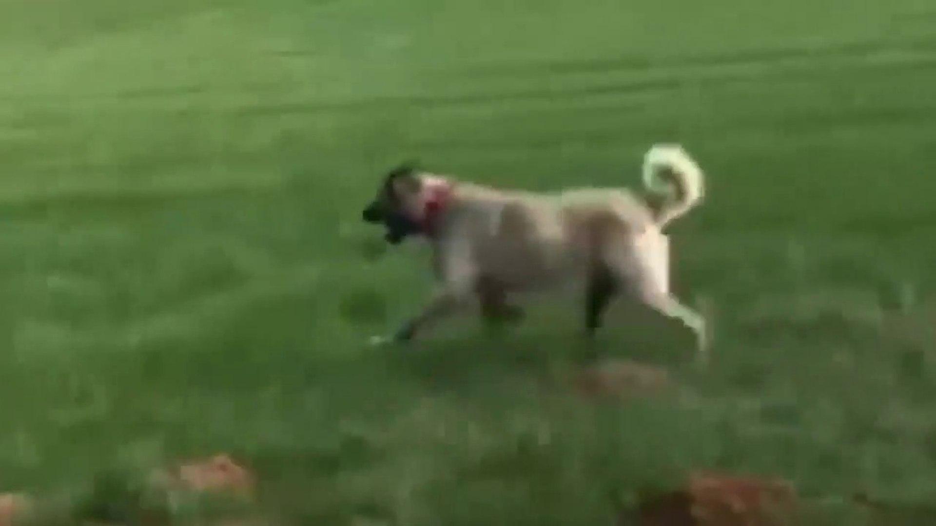 KANGAL KOPEKLERiYLE SABAH SPORU - KANGAL SHEPHERD DOGS EXERCiSE