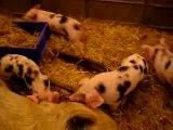 Jeu de cochons - Salon Agriculture 2008