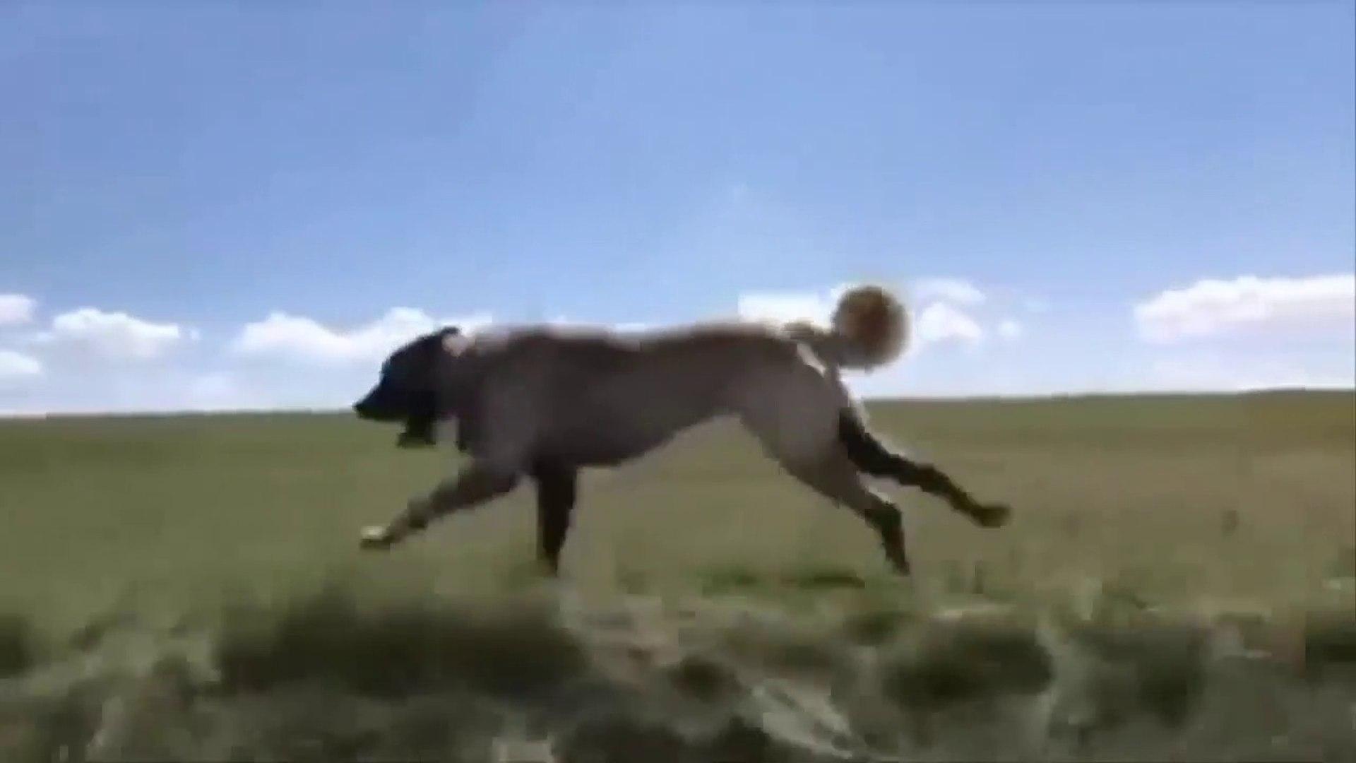 KANGAL KOPEGi DAG BAYIR GEZE GEZE KOSUYOR - KANGAL SHEPHERD DOG RUNNiNG