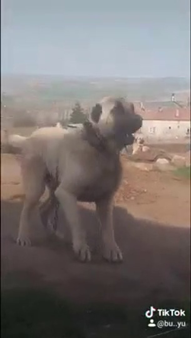 DEV ADAMCI COBAN KOPEGi DURMUYOR - GiANT ANATOLiAN SHEPHERD DOG