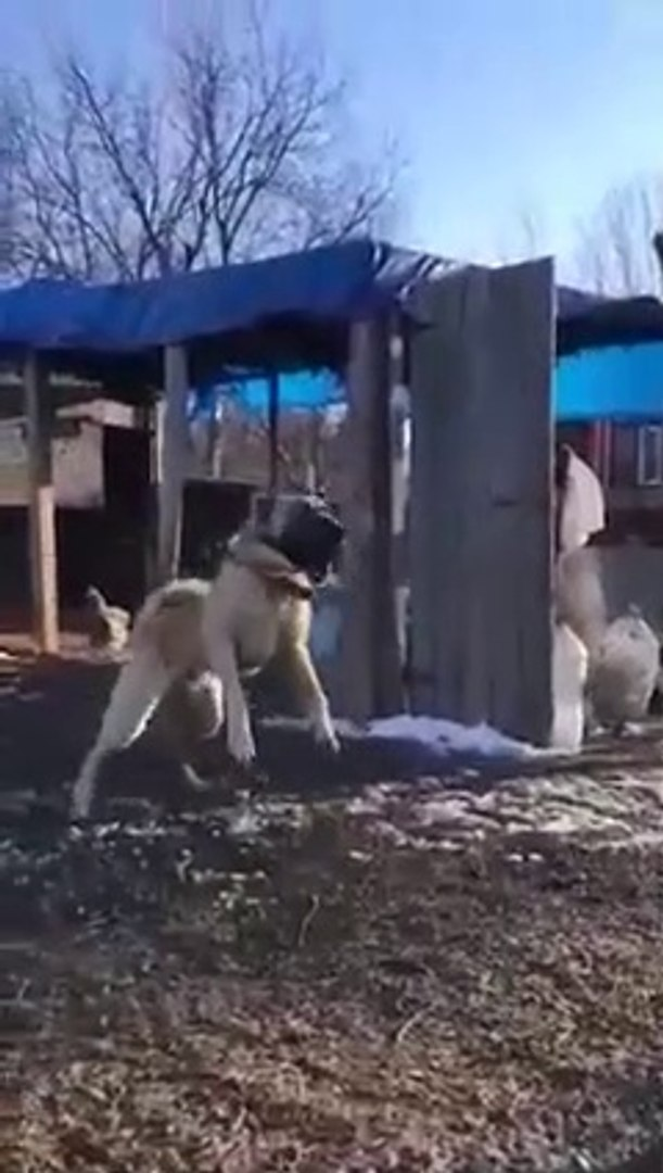 GENC ama COK SiNiRLi KANGAL KOPEGi - YOUNG and VERY ANGRY KANGAL DOG