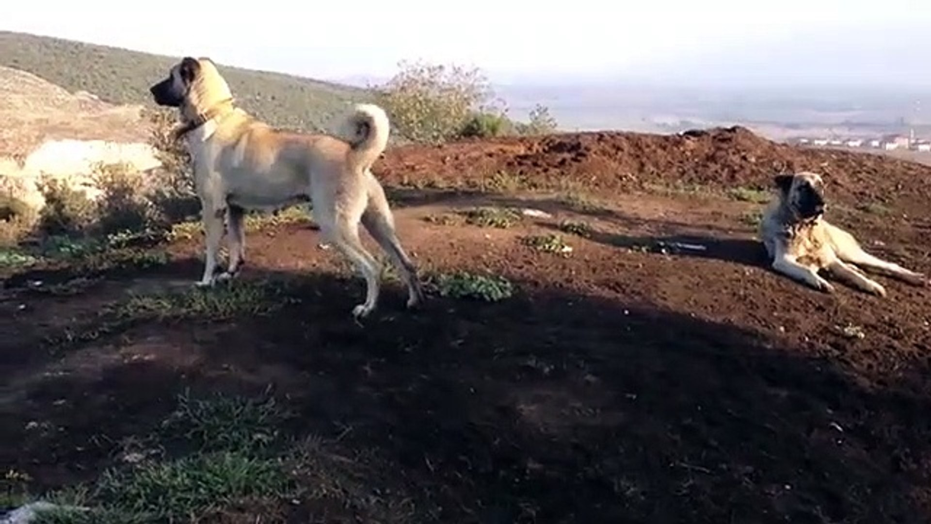 KANGAL KOPEGi HEP HAZIR - KANGAL SHEPHERD DOG